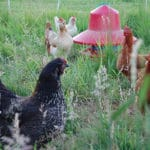 'Free-Range Meat and Eggs Better for You'