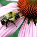 Pesticides Put Bumblebee Colonies at Risk of Failure, Study Finds