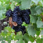 Grapegrower Report: Organic Practices Make the Difference