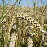 Genetically Modified Wheat May 'Silence' Human Genome
