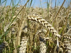 320px-Wheat_close-up