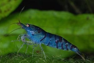 cantonensis-blue-tiger