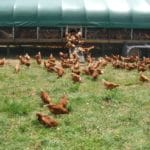 FDA Poised to Release Guidance Restricting Outdoor Access for Organic Poultry