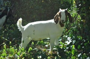 Goat_Grazing