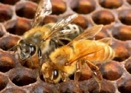 Beekeepers Call on State to Suspend Corn Seed Pesticides Said to Kill Bees