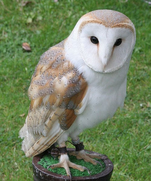 Hungry Owl Project: Pest control on the Wing - Cornucopia ...