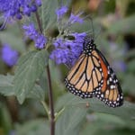 Groups Seek U.S. Protection for Monarch Butterflies