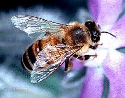 usda_honeybee