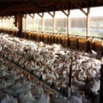 Factory Farmed Chickens: The Hidden Cost of Cheap Chicken