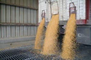 corn.dumping