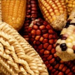 Mexico and Monsanto: Taking Precaution in the Face of Genetic Contamination