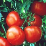 In Florida Tomato Fields, a Penny Buys Progress