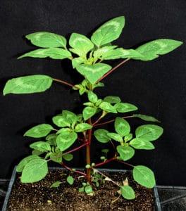 legleiter-amaranth