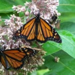 Monarch Butterflies Dying — and Roundup Is a Suspect