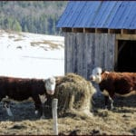 Considerations for Out-Wintering the Organic Dairy Herd: Webinar by eOrganic