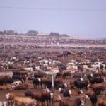 Antibiotics, Bacteria Found in Feedlot Dust