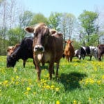 Milk from Pastured Cows is Better for You