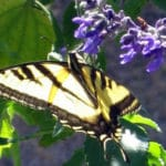 How To Bring Back Butterflies: Make Vineyards Sustainable