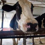 Conventional Cattle Being Milked on Organic Farms?