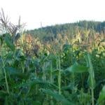 Oregon Farmers Battle Over GMO Control