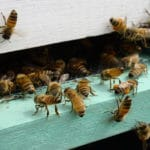 In Win for Beekeepers, Minnesota Links Insecticide to Damaged Hives