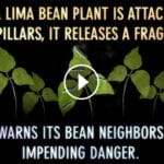 Invisible Worlds: Lima Beans