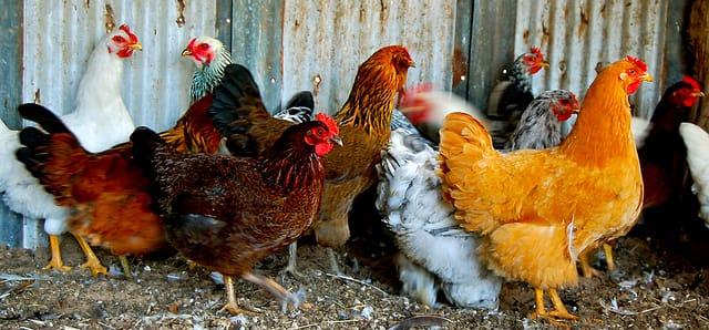 Which Chicken Breeds Are Right For You Cornucopia Institute