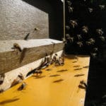Bees in the Heartland Struggle to Find Food