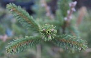 Organic Christmas Trees are Greener