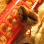 Spring Brings Baby Chicks
