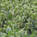 Farmers Expected to Double Dicamba-Ready Acreage to Prevent Drift Damage