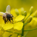 Farm Field Research in Europe Demonstrates Real Harm to Bees from Neonics