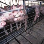 Iowa Suffers from Cheap Pork
