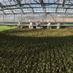 Illegal Certification of Hydroponics Continues