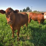 Organic Grass-fed Beef is Better for the Environment