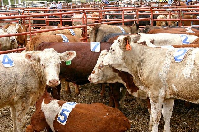 Organic Cattle Farmer Speaks Out on Antibiotics - Cornucopia Institute