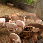 Organic Pork Remains Largely Out of Consumer Reach