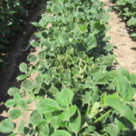 First Federal Indictment for Dicamba Misuse