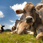 "Factory ""Organic"" Causes Dairy Surplus"
