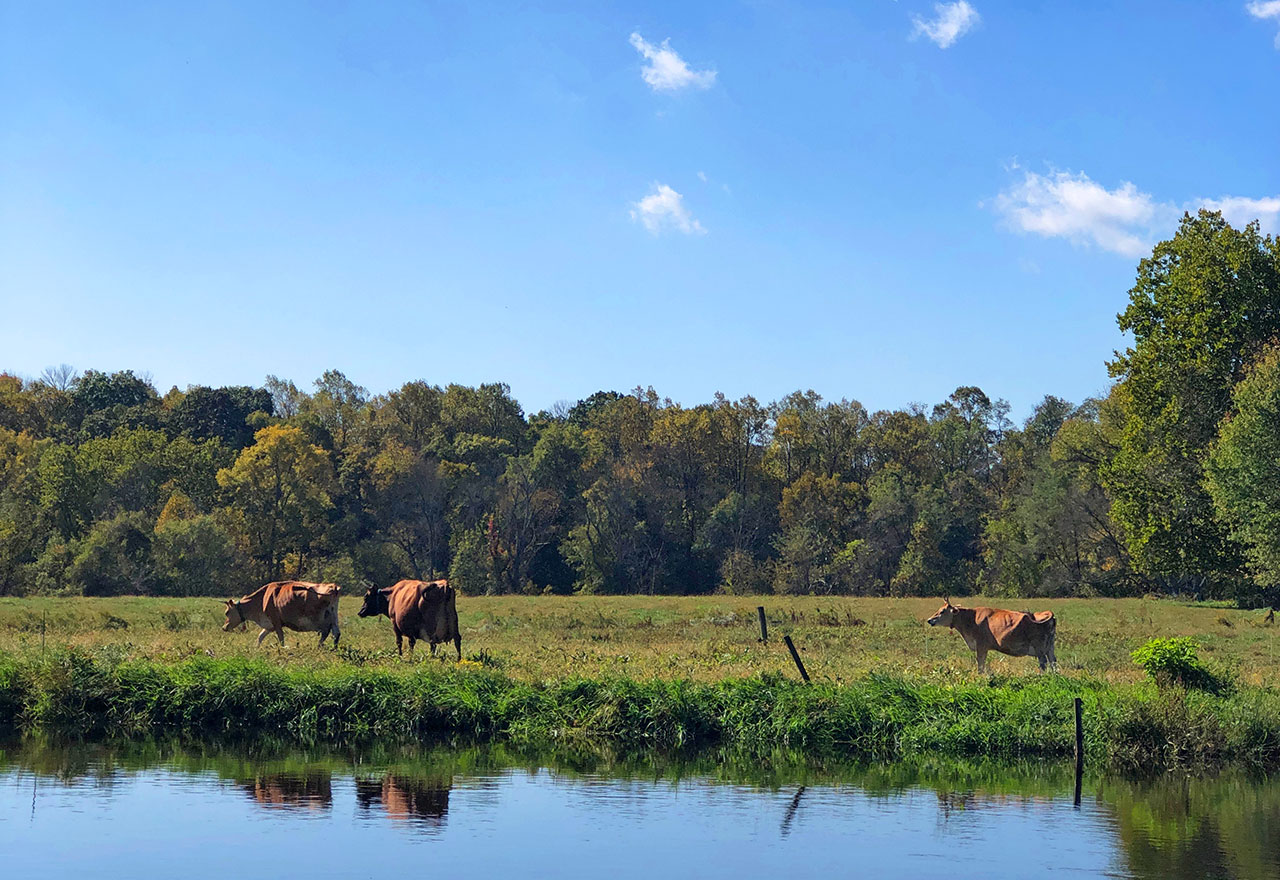 Truly Pasture-Raised - cattle in a pasture by a pond