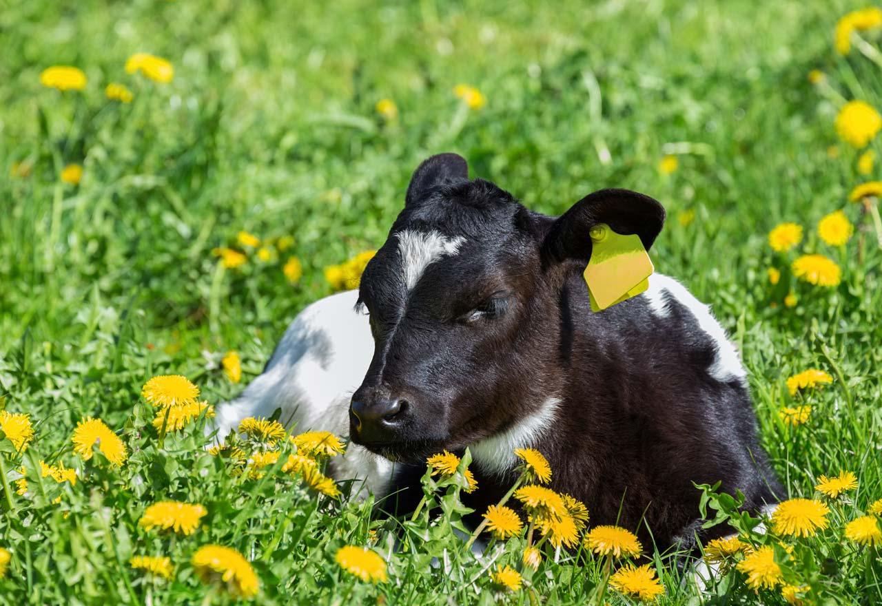 Dairy Calf